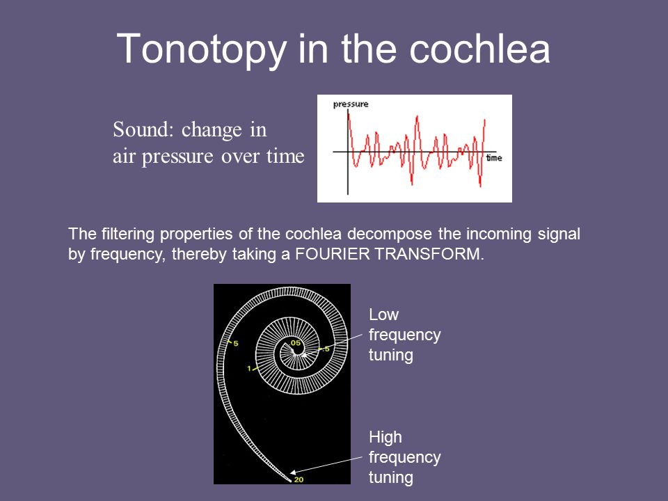 Tonotopy in the cochlea Sound: change in air pressure over time The filtering properties of the cochlea decompose the incoming signal by frequency, thereby taking a FOURIER TRANSFORM.