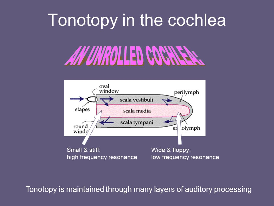 Tonotopy in the cochlea Small & stiff: high frequency resonance Wide & floppy: low frequency resonance Tonotopy is maintained through many layers of a