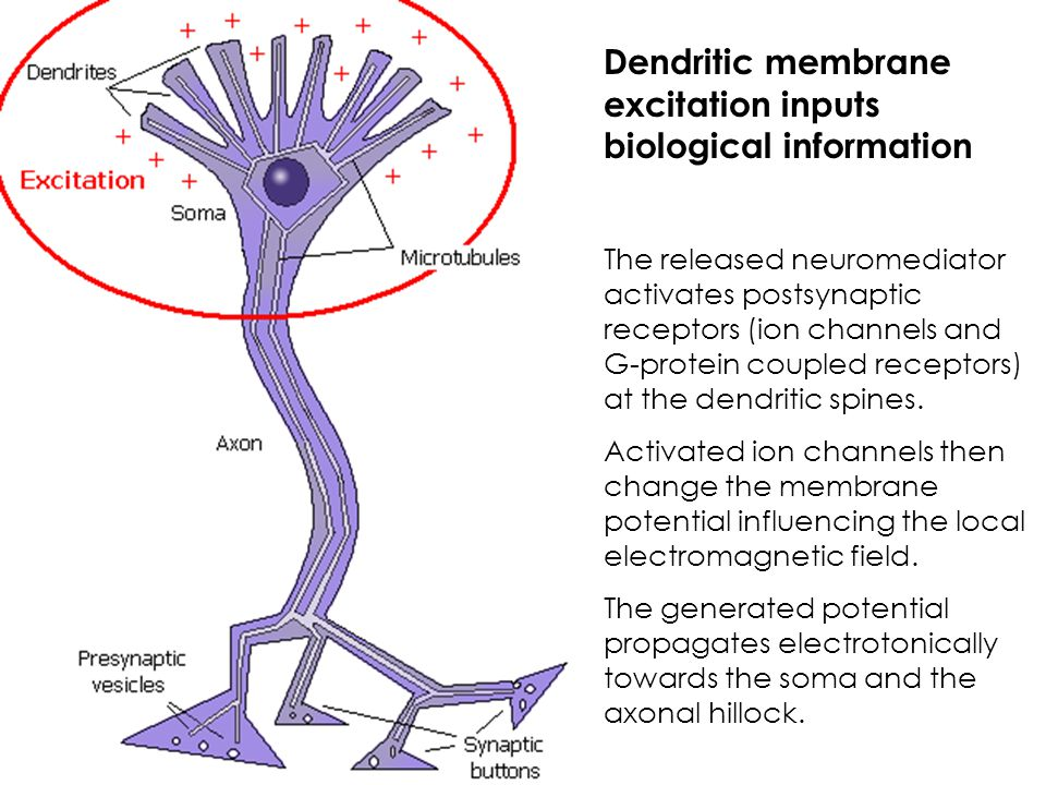 Dendritic membrane excitation inputs biological information The released neuromediator activates postsynaptic receptors (ion channels and G-protein co