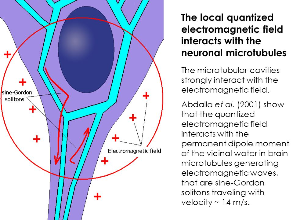 The local quantized electromagnetic field interacts with the neuronal microtubules The microtubular cavities strongly interact with the electromagnetic field.