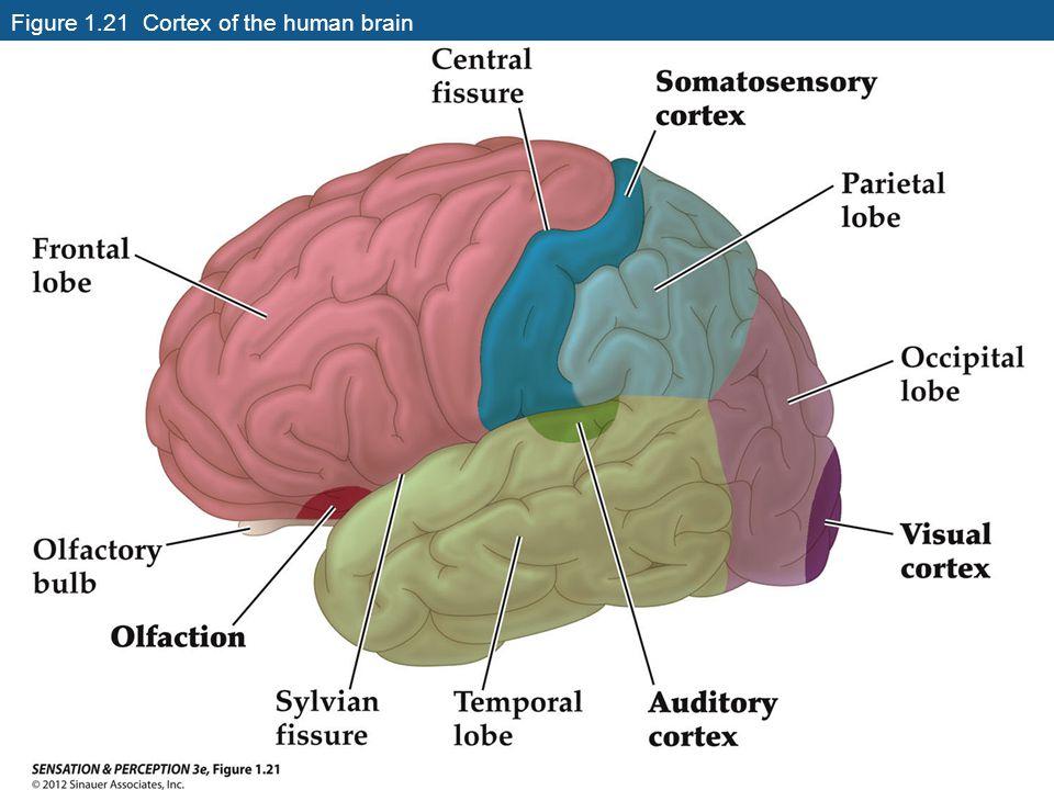 Figure 1.21 Cortex of the human brain