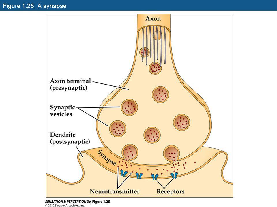 Figure 1.25 A synapse