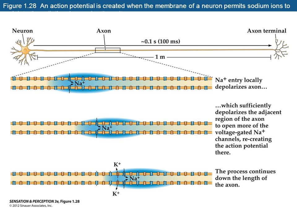 Figure 1.28 An action potential is created when the membrane of a neuron permits sodium ions to rush into the cell, thus increasing the voltage