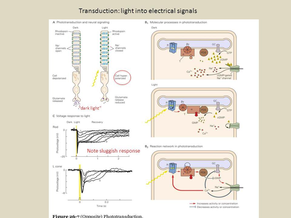 "Transduction: light into electrical signals ""dark light"" Note sluggish response"