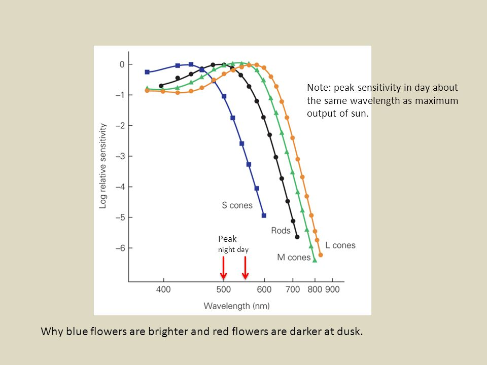Why blue flowers are brighter and red flowers are darker at dusk.