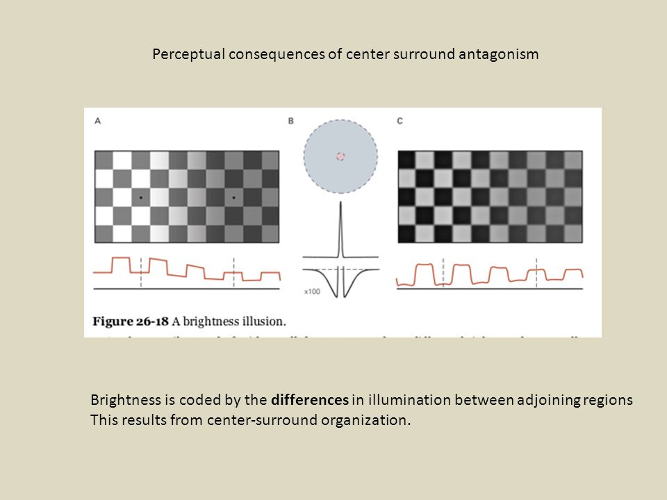 Perceptual consequences of center surround antagonism Brightness is coded by the differences in illumination between adjoining regions This results from center-surround organization.