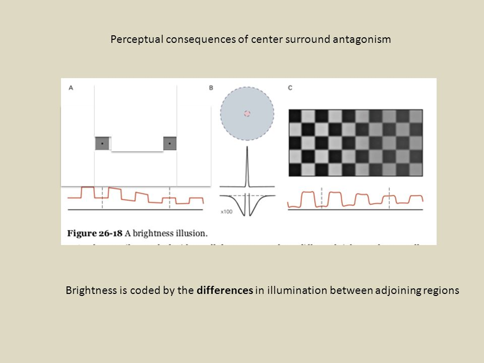 Perceptual consequences of center surround antagonism Brightness is coded by the differences in illumination between adjoining regions