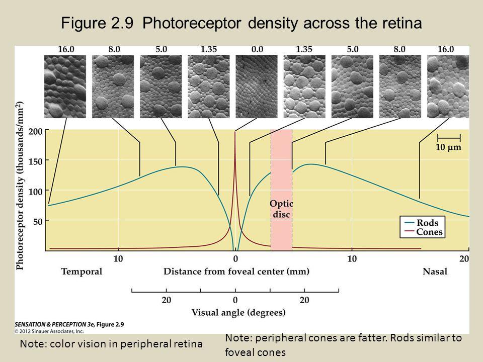 Visual Acuity matches photoreceptor density Relative visual acuity Receptor density 1 foveal cone= 0.5 min arc