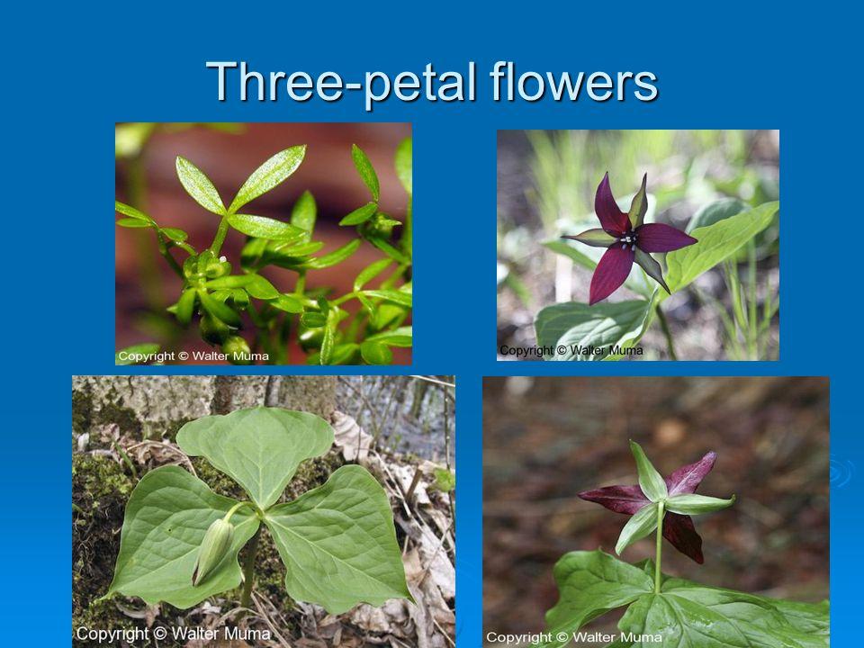 Three-petal flowers