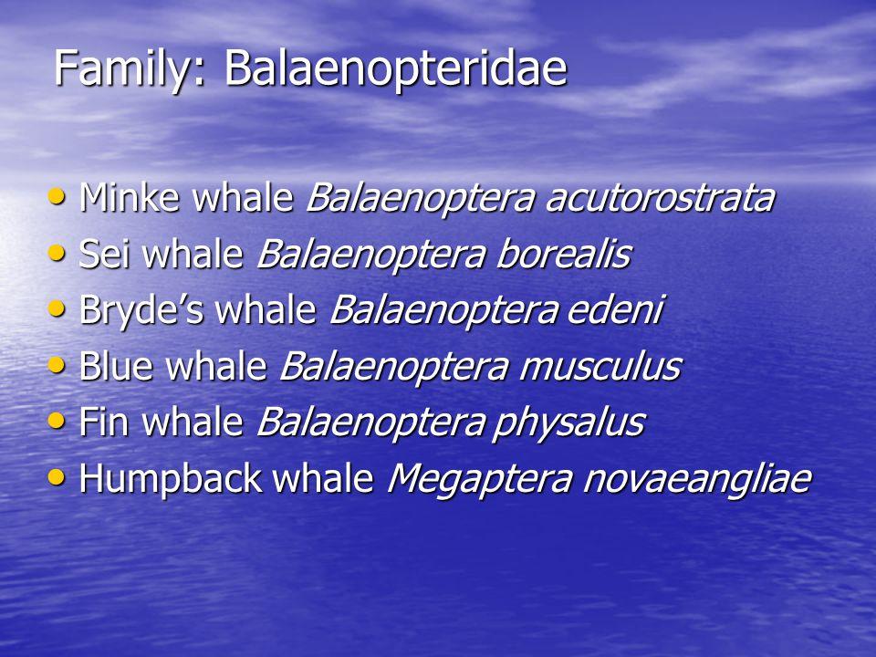 Family: Balaenopteridae Minke whale Balaenoptera acutorostrata Minke whale Balaenoptera acutorostrata Sei whale Balaenoptera borealis Sei whale Balaenoptera borealis Bryde's whale Balaenoptera edeni Bryde's whale Balaenoptera edeni Blue whale Balaenoptera musculus Blue whale Balaenoptera musculus Fin whale Balaenoptera physalus Fin whale Balaenoptera physalus Humpback whale Megaptera novaeangliae Humpback whale Megaptera novaeangliae
