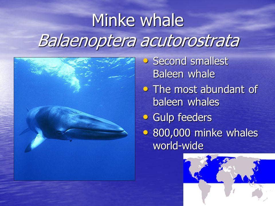 Minke whale Balaenoptera acutorostrata Second smallest Baleen whale Second smallest Baleen whale The most abundant of baleen whales The most abundant of baleen whales Gulp feeders Gulp feeders 800,000 minke whales world-wide 800,000 minke whales world-wide