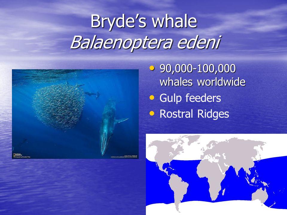 Bryde's whale Balaenoptera edeni 90,000-100,000 whales worldwide 90,000-100,000 whales worldwide Gulp feeders Rostral Ridges