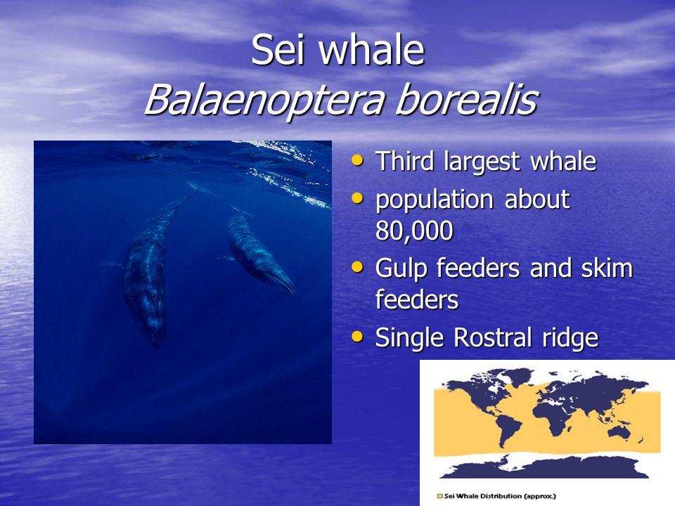 Sei whale Balaenoptera borealis Third largest whale Third largest whale population about 80,000 population about 80,000 Gulp feeders and skim feeders Gulp feeders and skim feeders Single Rostral ridge Single Rostral ridge