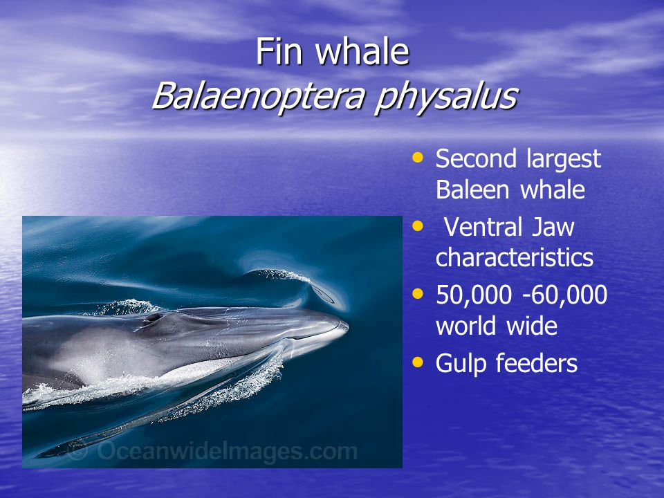 Fin whale Balaenoptera physalus Second largest Baleen whale Ventral Jaw characteristics 50,000 -60,000 world wide Gulp feeders
