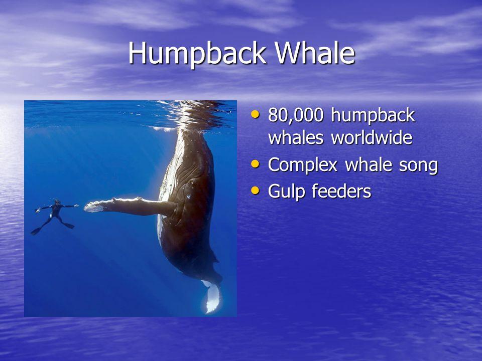 Humpback Whale 80,000 humpback whales worldwide 80,000 humpback whales worldwide Complex whale song Complex whale song Gulp feeders Gulp feeders