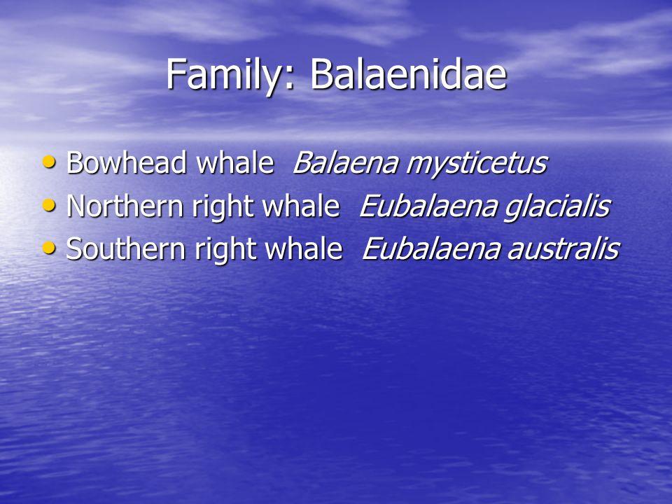 Family: Balaenidae Bowhead whale Balaena mysticetus Bowhead whale Balaena mysticetus Northern right whale Eubalaena glacialis Northern right whale Eubalaena glacialis Southern right whale Eubalaena australis Southern right whale Eubalaena australis