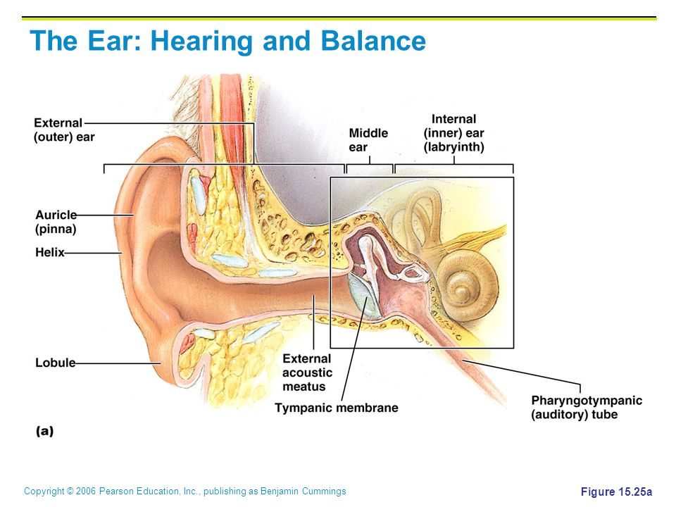 Copyright © 2006 Pearson Education, Inc., publishing as Benjamin Cummings Middle and Internal Ear Figure 15.25b