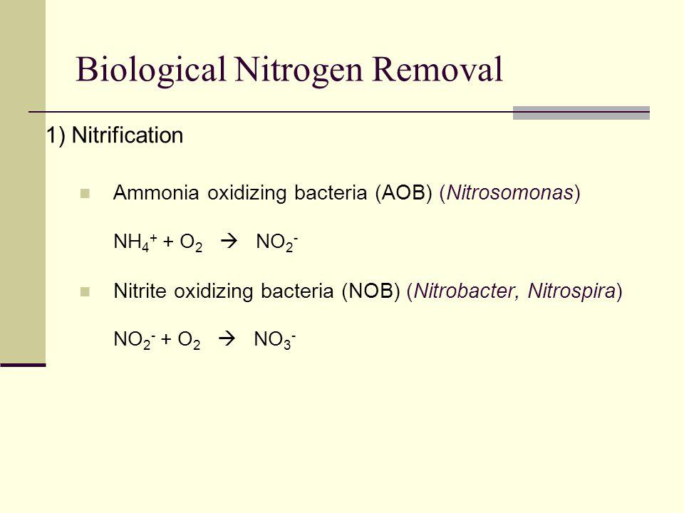 Biological Nitrogen Removal 1) Nitrification Ammonia oxidizing bacteria (AOB) (Nitrosomonas) NH 4 + + O 2  NO 2 - Nitrite oxidizing bacteria (NOB) (Nitrobacter, Nitrospira) NO 2 - + O 2  NO 3 -