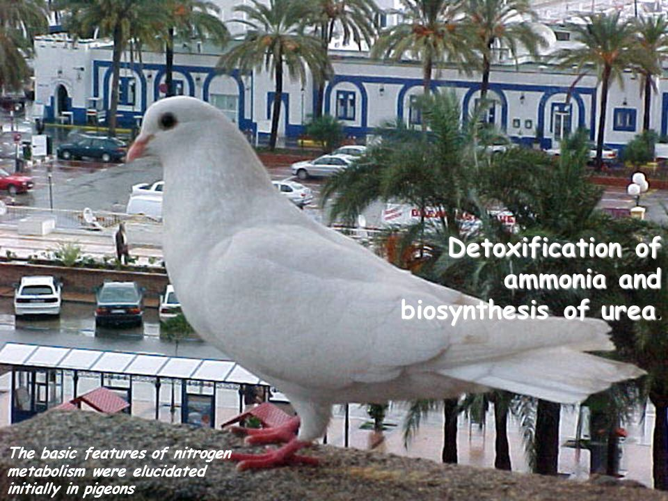 Detoxification of ammonia and biosynthesis of urea. The basic features of nitrogen metabolism were elucidated initially in pigeons