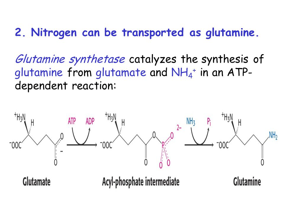 2. Nitrogen can be transported as glutamine. Glutamine synthetase catalyzes the synthesis of glutamine from glutamate and NH 4 + in an ATP- dependent