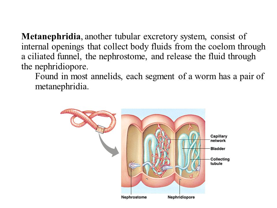 Metanephridia, another tubular excretory system, consist of internal openings that collect body fluids from the coelom through a ciliated funnel, the