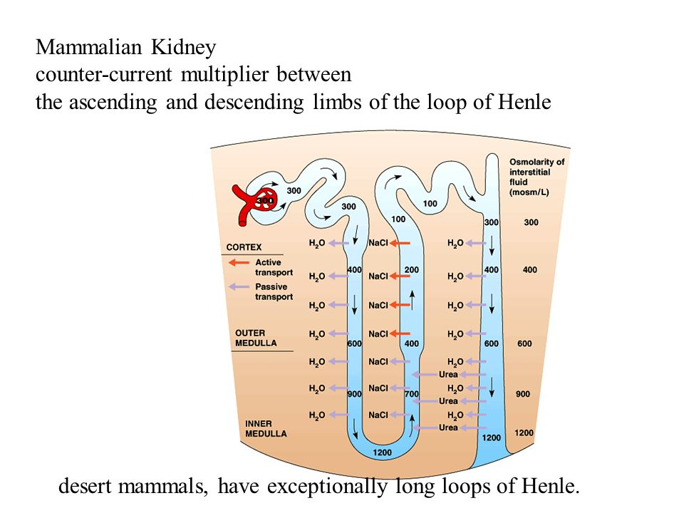 Mammalian Kidney counter-current multiplier between the ascending and descending limbs of the loop of Henle desert mammals, have exceptionally long lo