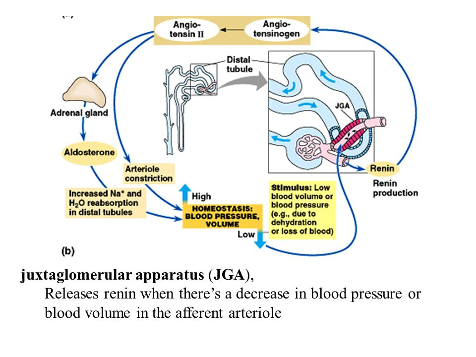 juxtaglomerular apparatus (JGA), Releases renin when there's a decrease in blood pressure or blood volume in the afferent arteriole