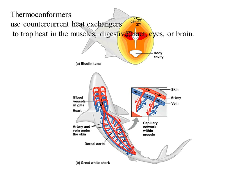 Thermoconformers use countercurrent heat exchangers to trap heat in the muscles, digestive tract, eyes, or brain.