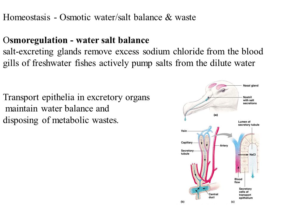 Homeostasis - Osmotic water/salt balance & waste Osmoregulation - water salt balance salt-excreting glands remove excess sodium chloride from the bloo