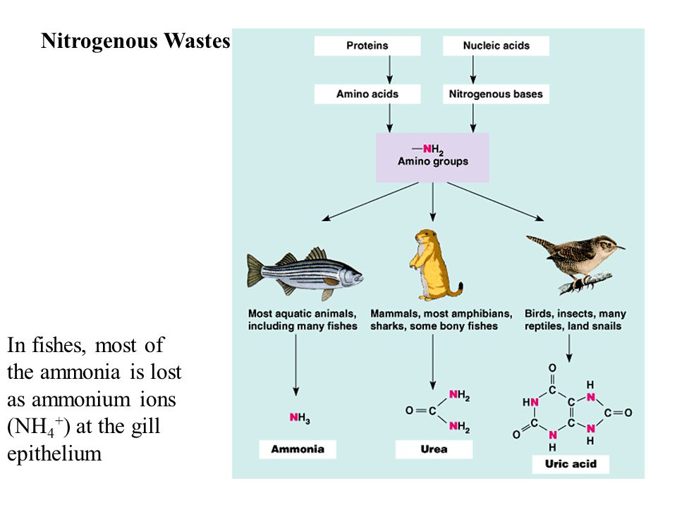 In fishes, most of the ammonia is lost as ammonium ions (NH 4 + ) at the gill epithelium Nitrogenous Wastes