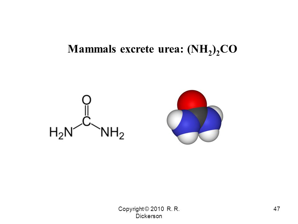 Copyright © 2010 R. R. Dickerson 47 Mammals excrete urea: (NH 2 ) 2 CO
