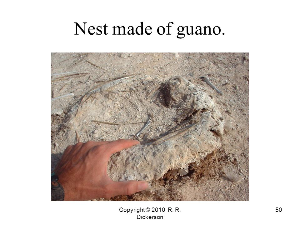 Copyright © 2010 R. R. Dickerson 50 Nest made of guano.