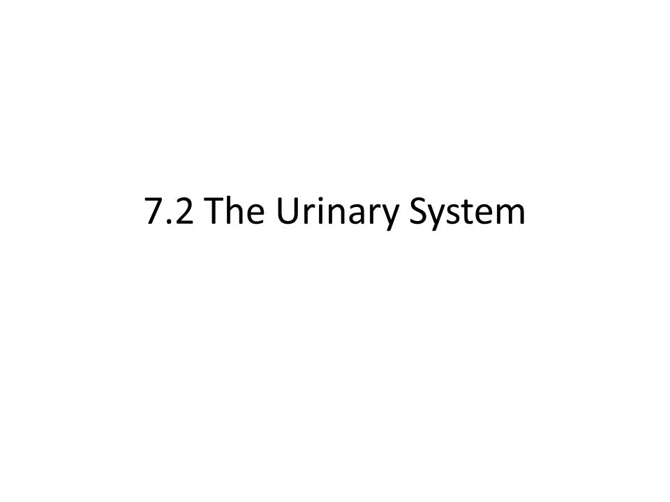 7.2 The Urinary System