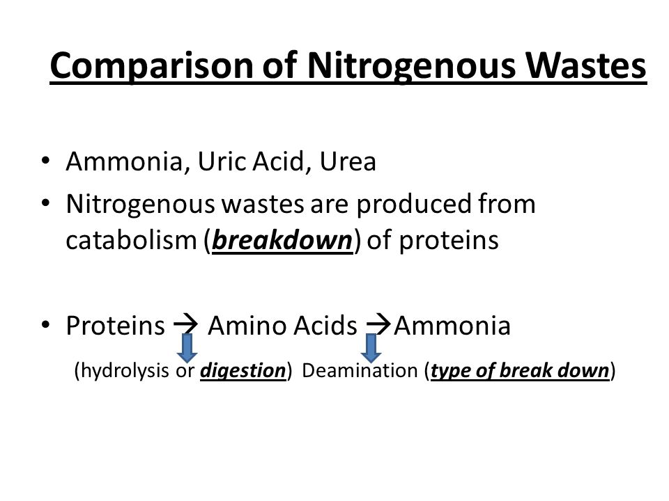 Comparison of Nitrogenous Wastes Ammonia, Uric Acid, Urea Nitrogenous wastes are produced from catabolism (breakdown) of proteins Proteins  Amino Acids  Ammonia (hydrolysis or digestion) Deamination (type of break down)