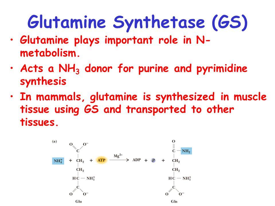 Glutamine Synthetase (GS) Glutamine plays important role in N- metabolism.