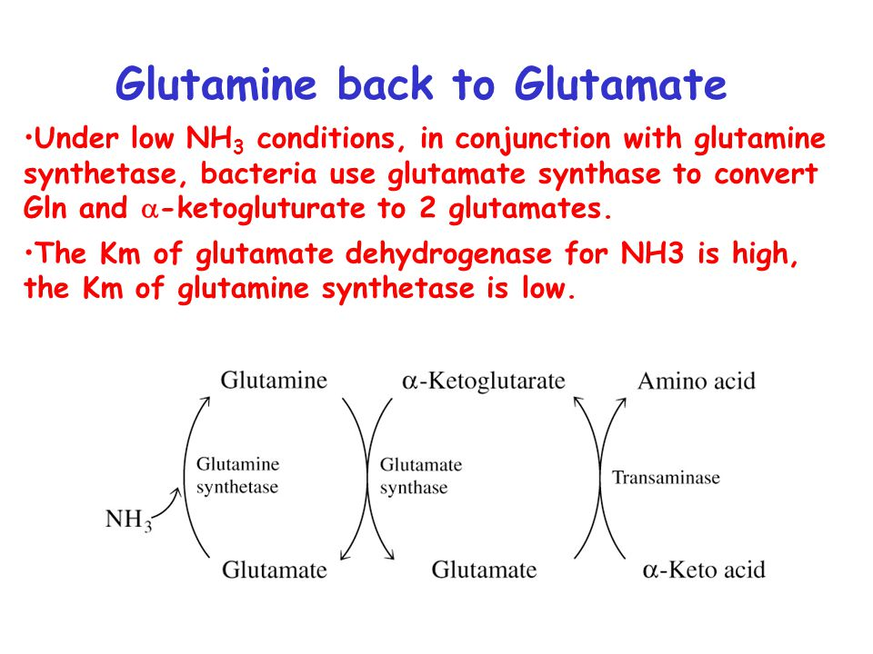 Glutamine back to Glutamate Under low NH 3 conditions, in conjunction with glutamine synthetase, bacteria use glutamate synthase to convert Gln and  -ketogluturate to 2 glutamates.