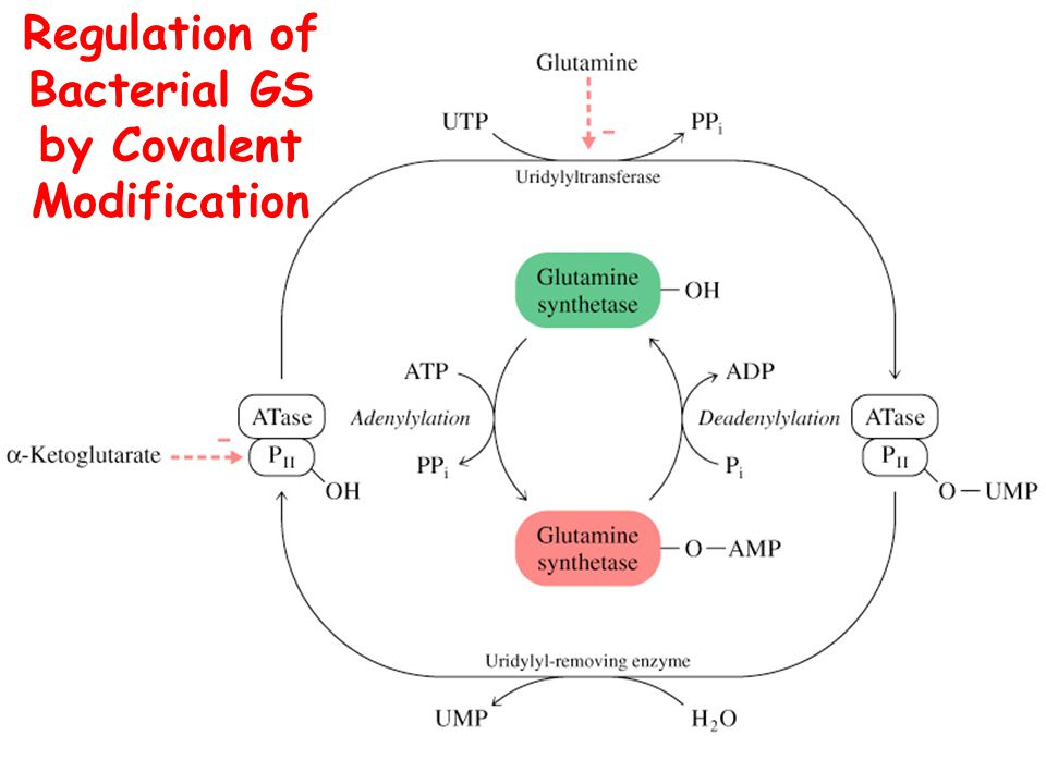 Regulation of Bacterial GS by Covalent Modification