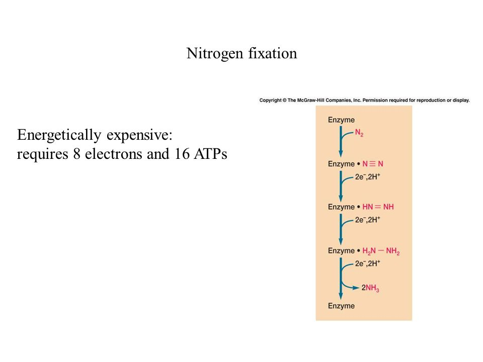 Nitrogen fixation Energetically expensive: requires 8 electrons and 16 ATPs