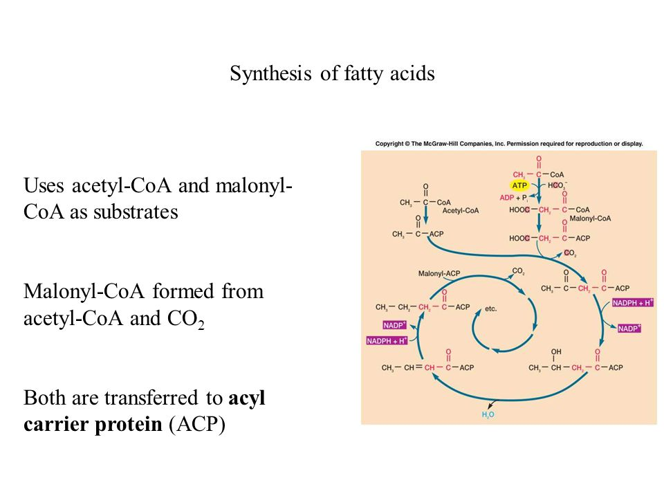 Synthesis of fatty acids Uses acetyl-CoA and malonyl- CoA as substrates Malonyl-CoA formed from acetyl-CoA and CO 2 Both are transferred to acyl carrier protein (ACP)