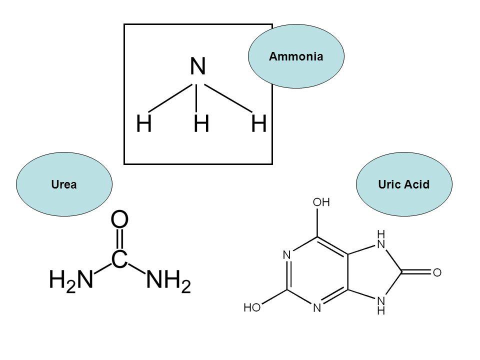N H H H Ammonia UreaUric Acid