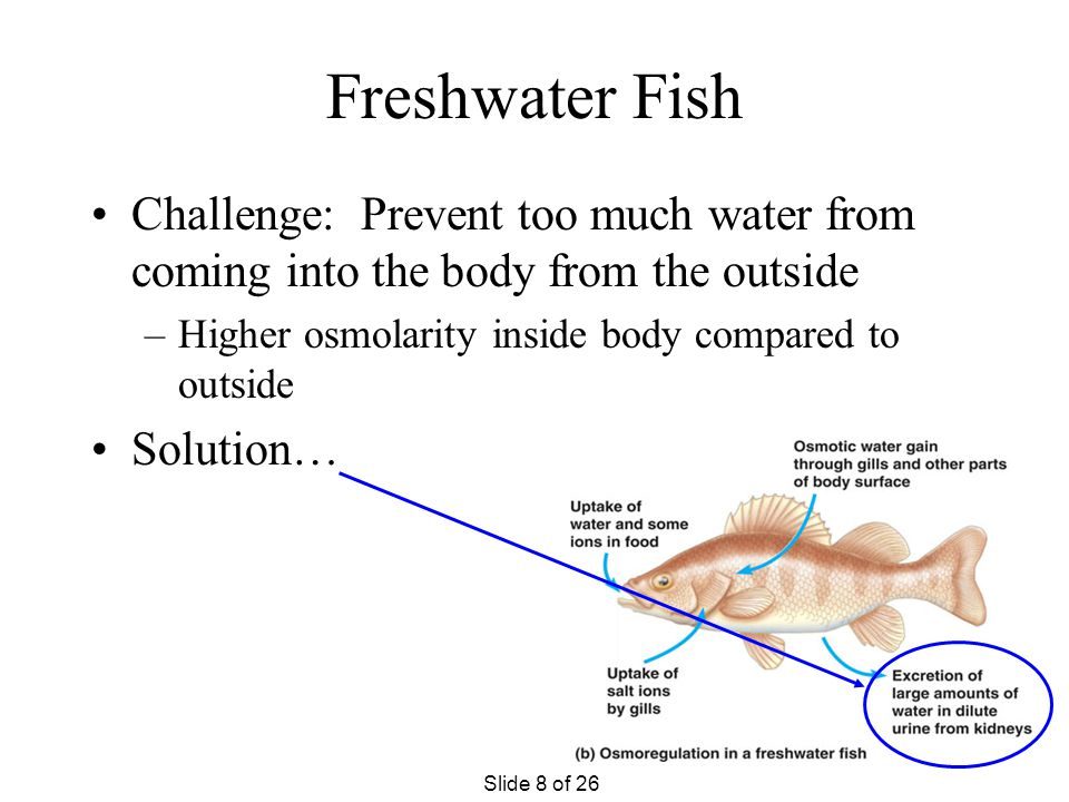 Saltwater Fish Challenge: Prevent too much water from leaving the body (to go into the outside environment) –Higher osmolarity outside compared to ins