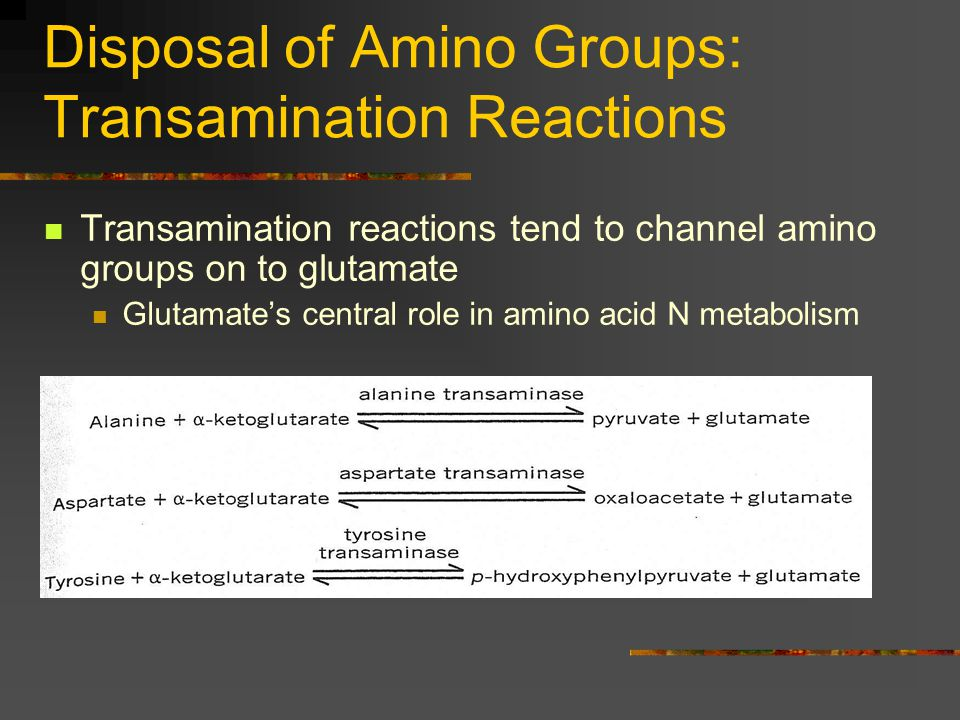 Disposal of Amino Groups: Transamination Reactions Transamination reactions tend to channel amino groups on to glutamate Glutamate's central role in a