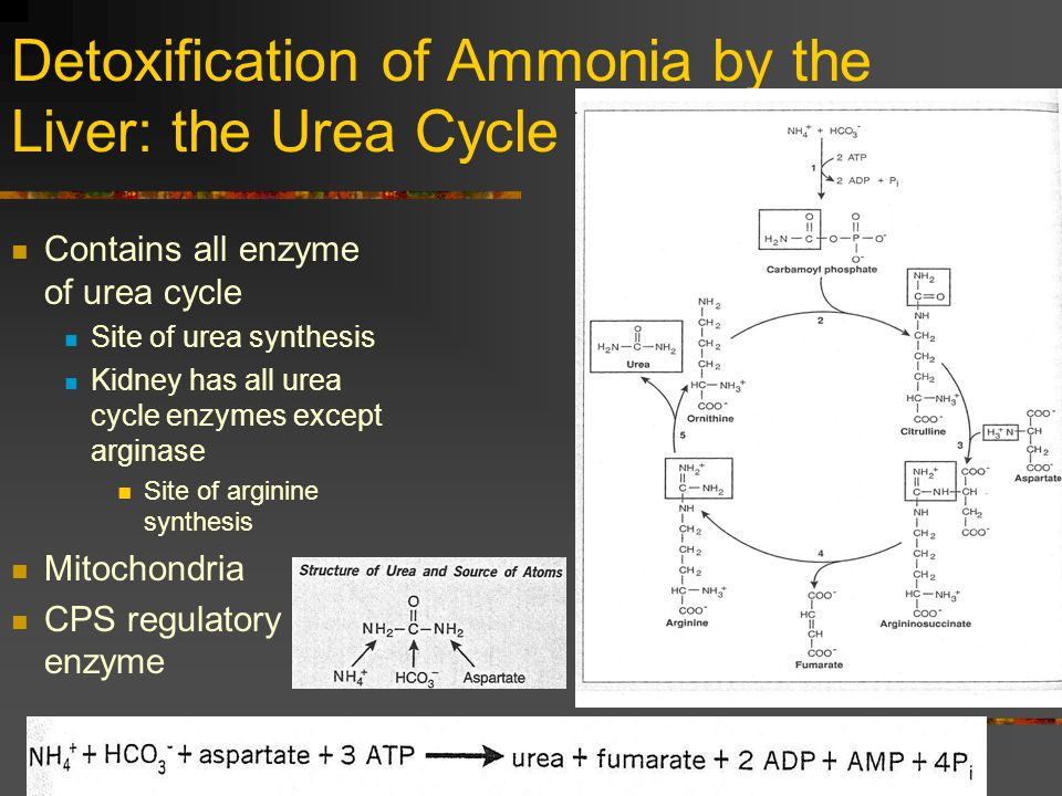 Detoxification of Ammonia by the Liver: the Urea Cycle Contains all enzyme of urea cycle Site of urea synthesis Kidney has all urea cycle enzymes exce
