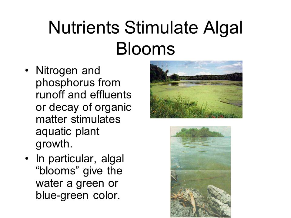 Nutrients Stimulate Algal Blooms Nitrogen and phosphorus from runoff and effluents or decay of organic matter stimulates aquatic plant growth. In part