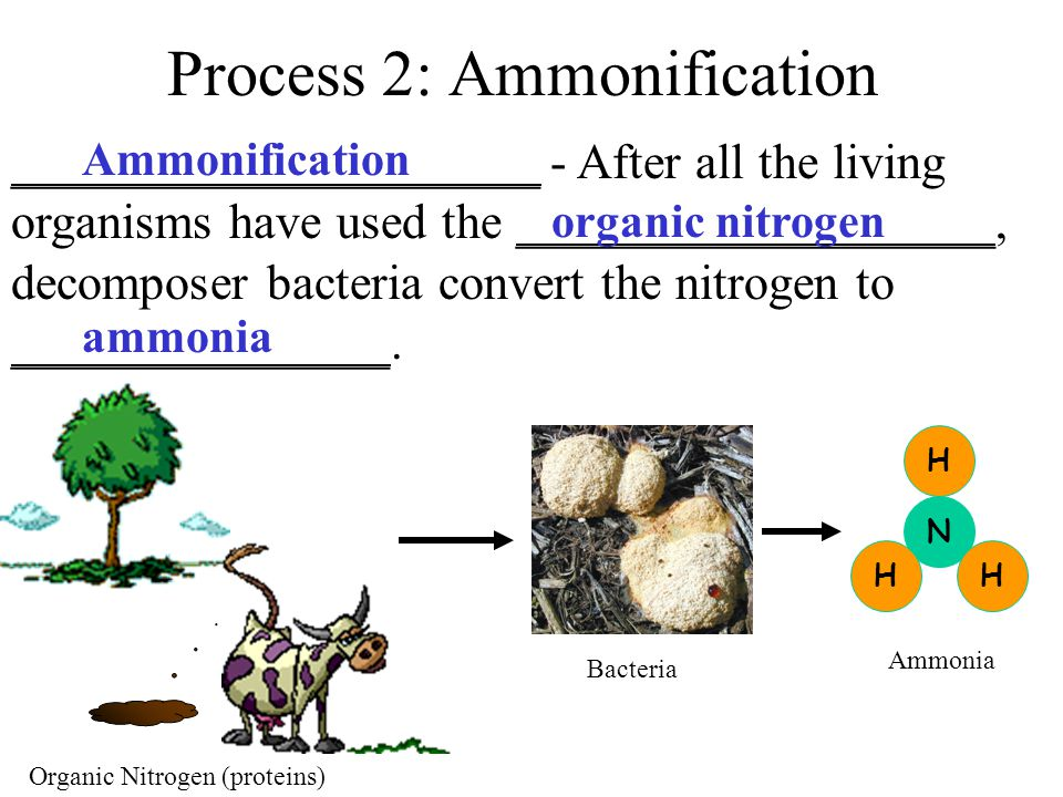 Process 2: Ammonification _____________________ - After all the living organisms have used the ___________________, decomposer bacteria convert the nitrogen to _______________.
