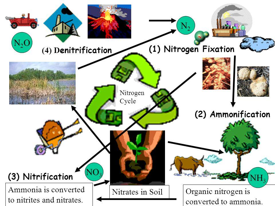 Nitrogen Cycle (4) D enitrification (1) Nitrogen Fixation (2) Ammonification Nitrates in Soil Organic nitrogen is converted to ammonia.
