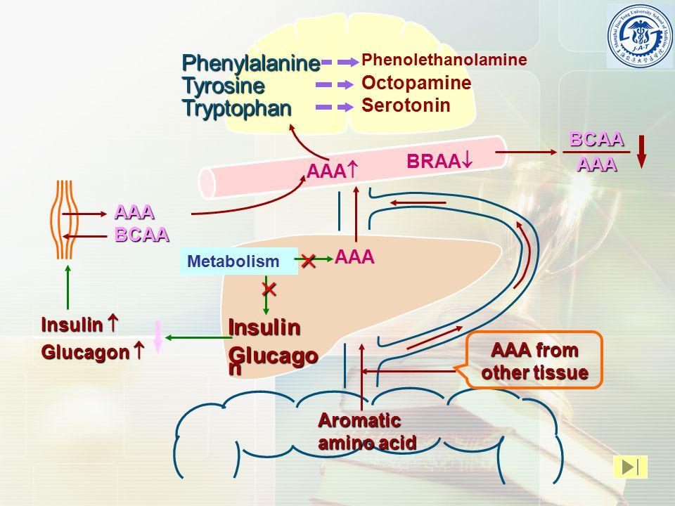 Aromatic amino acid AAA AAA  Metabolism   Insulin Glucago n BRAA  Insulin  Glucagon  AAAPhenylalanineTyrosine Tryptophan Phenolethanolamine Octopamine Serotonin BCAA AAA from other tissue BCAAAAA