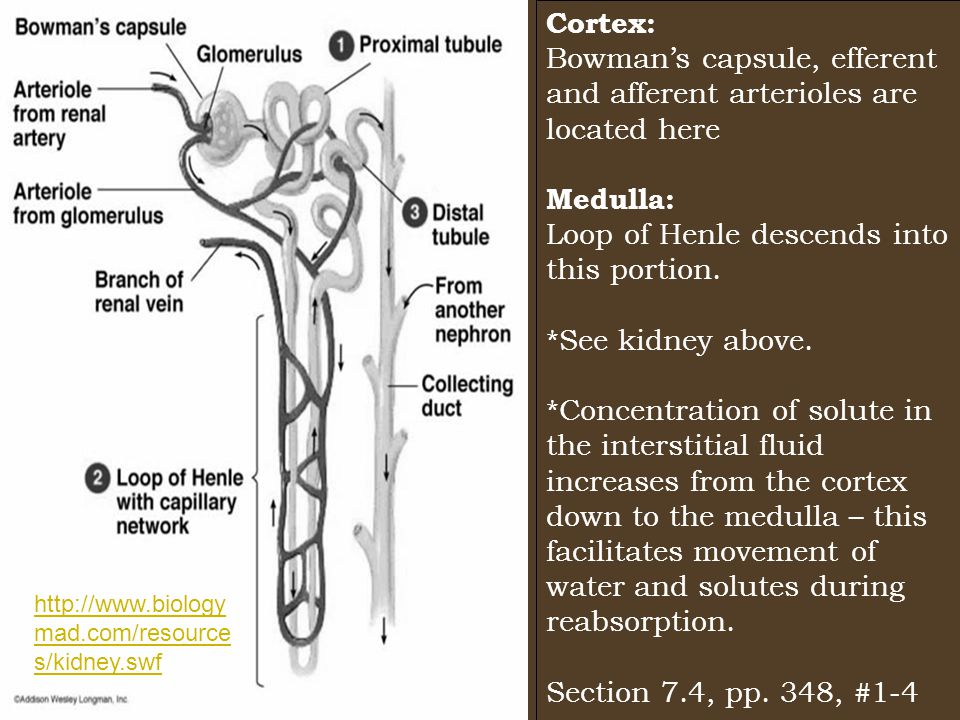 Cortex: Bowman's capsule, efferent and afferent arterioles are located here Medulla: Loop of Henle descends into this portion.