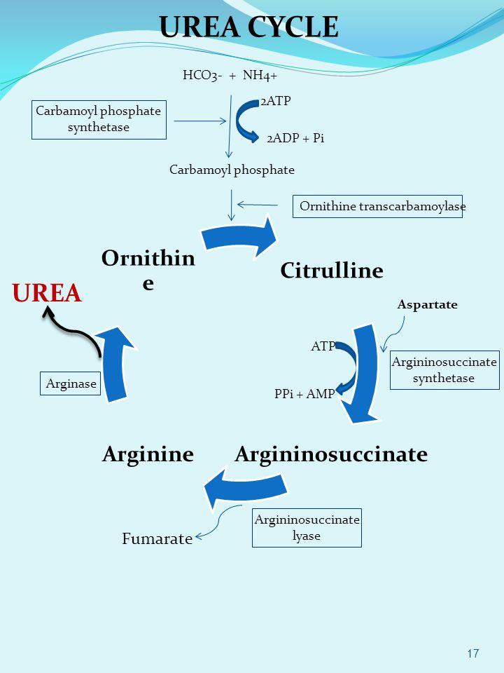 HCO3- + NH4+ 2ATP 2ADP + Pi Carbamoyl phosphate synthetase Carbamoyl phosphate Ornithine transcarbamoylase Aspartate Argininosuccinate synthetase ATP