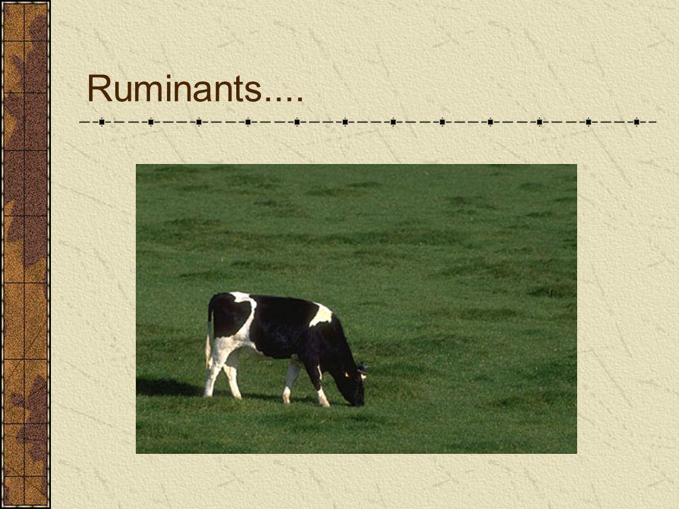Ruminants....
